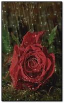 Rose rouge à la pluie