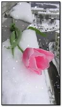 tulipan na śniegu