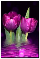 Tulips In Water