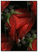 وردة مبللة