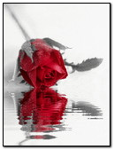 Red Rose Reflet