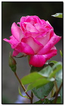 Đẹp hồng hồng