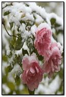 ดอกกุหลาบที่หิมะ