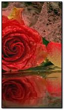 Bông hồng đỏ