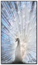 Білий павич