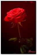 Falling Rose Petals