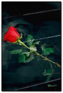 Rose qui tombe