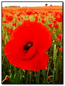 Ield Of Poppies