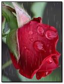 Red Rose Rain