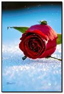स्नो मध्ये गुलाब