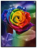 Nice Colorful Rose