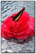 Papillon sur Rose