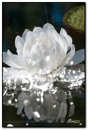 White Lotus In The Water