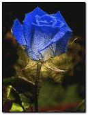 Rose-2 gif