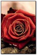 Bạn của tôi Rose