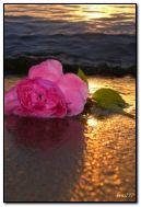 rose sur la rive