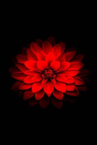 Iphone Red Lotus
