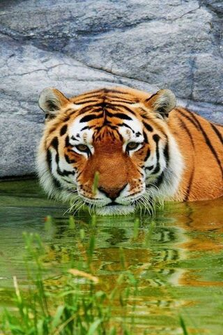 Tiger Water Rest