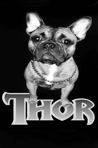 French Bulldog Thor