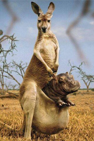 Kanguru Hippo