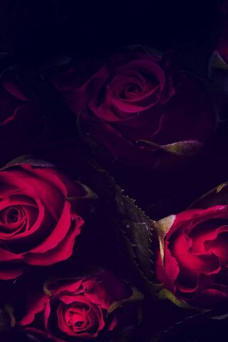 Hd Rose