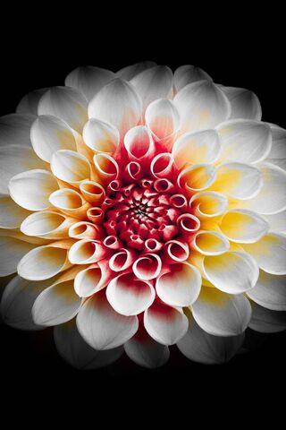 Bunga Dahlia Putih Wallpaper Download Ke Ponsel Anda Dari Phoneky