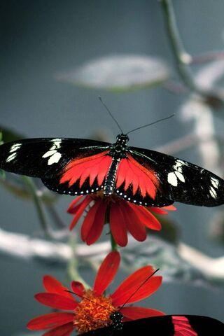 Fleur de papillon