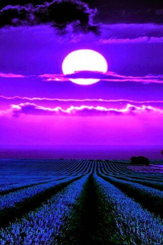 Moonlight Lavender