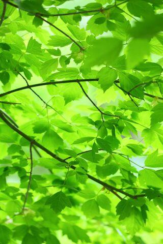 Daun hijau