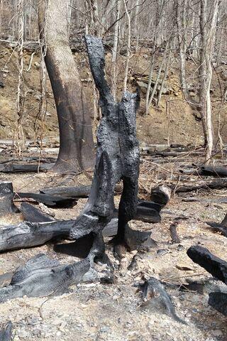 Pohon di Rockies Kebakaran