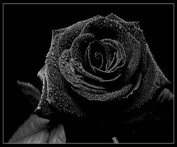 Rose Noire Fond D Ecran Telecharger Sur Votre Mobile Depuis Phoneky