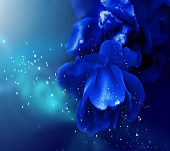 Roses Bleues Fond D Ecran Telecharger Sur Votre Mobile Depuis Phoneky